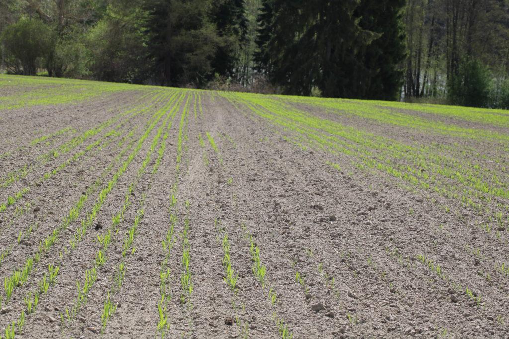 Amaretto vehnä 23.5, kylvöpäivä 12.5