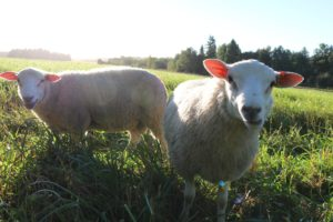 lammas8-pieni