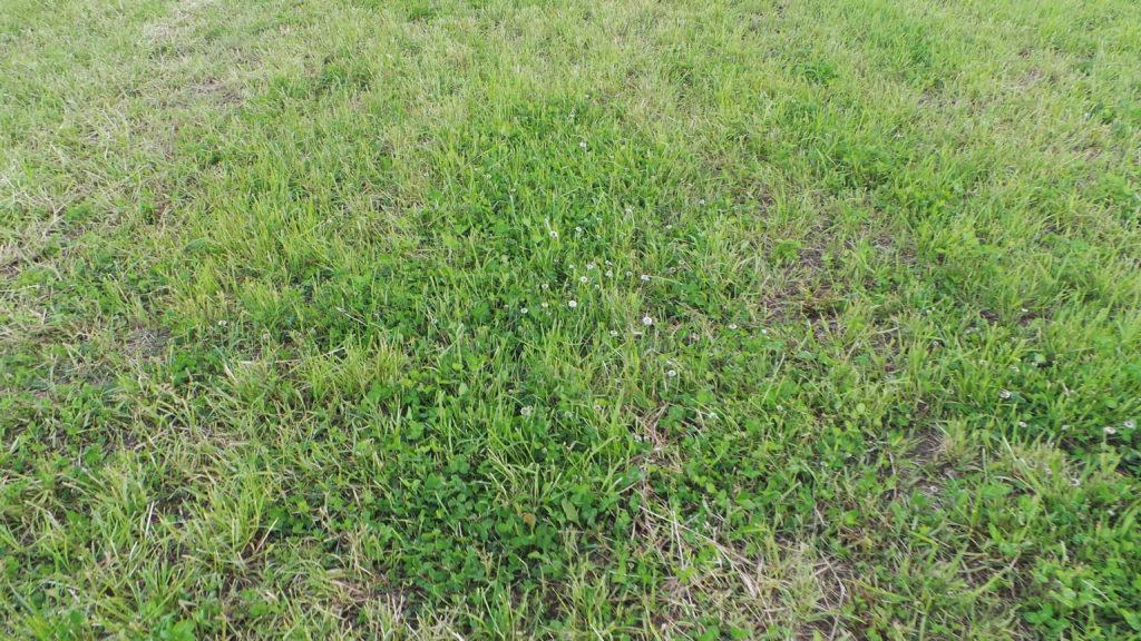 Myös apilat ovat lähteneet kasvamaan niiton jälkeen