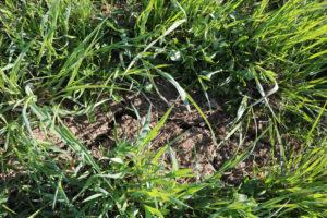 Pelto on pinnasta todella kuiva, lapio ei tahdo upota peltoon, ja lohkolta löytyy halkeamia