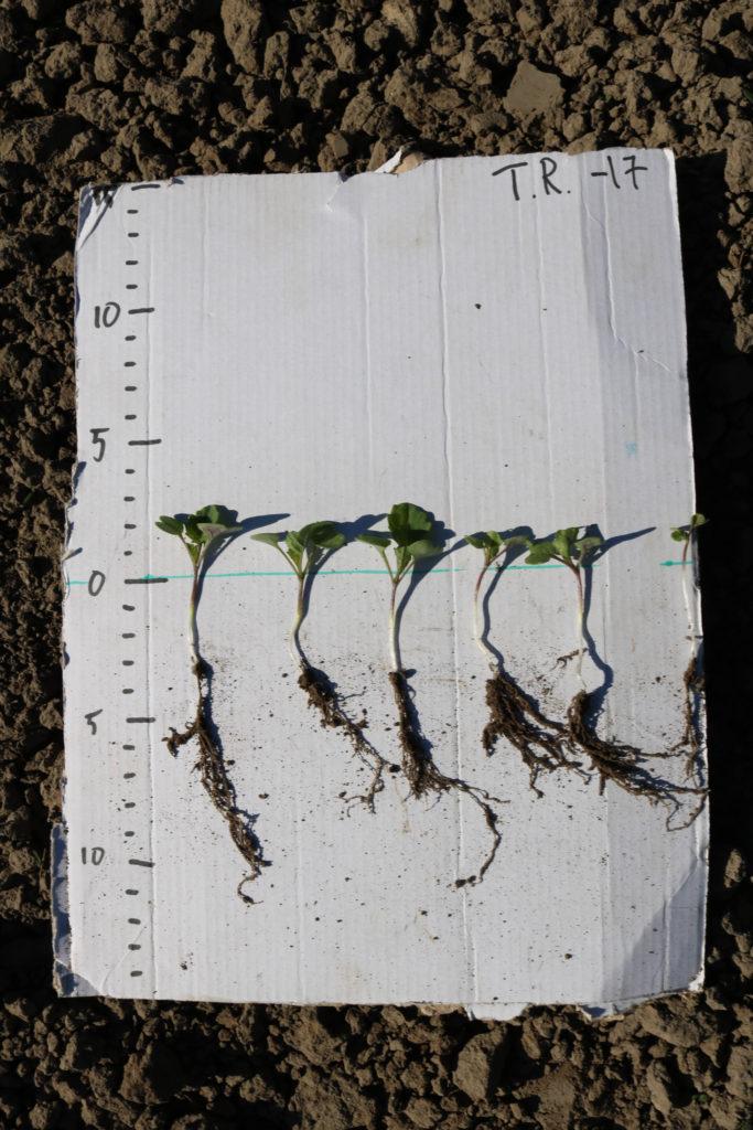 Rapsien juuret kurkottavat jo lähes 10 cm syvyydessä